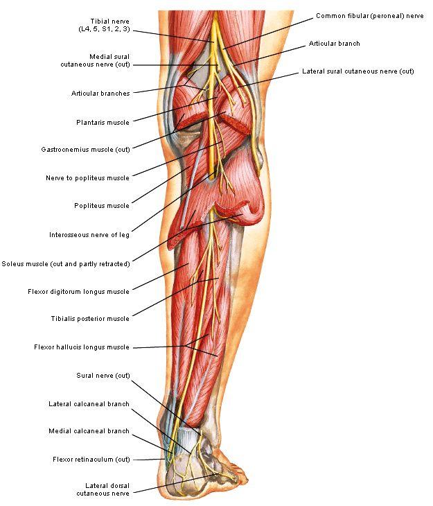 Achillespees met ligging nervus suralis 2 - door F.H. Netter | Lower ...