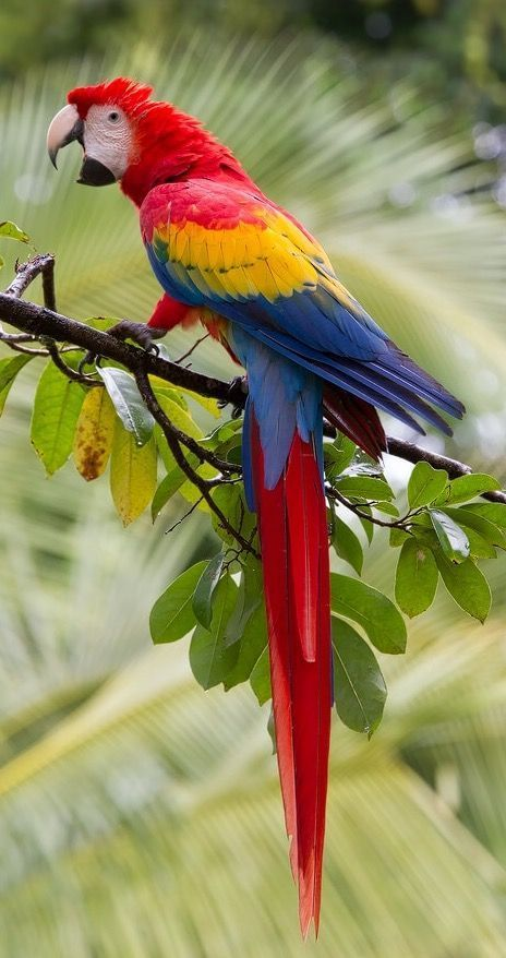 Guacamaya Bandera Colombia Parrot Colorful Birds Cute Birds
