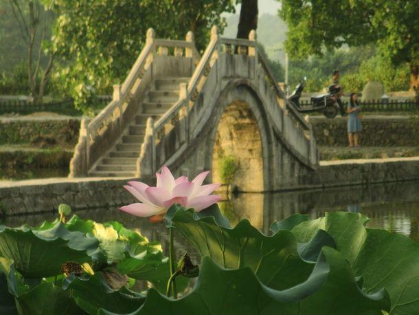 Lotus Flower Nelumbo nucifera  #plant #lotus #flower #nelumbo #nucifera #photography