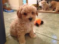 Toy Poodle Dogs Pets And Livestock Salt Lake City For Sale
