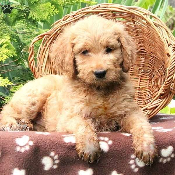 Farrah Cockapoo Puppy For Sale In Delaware Goldendoodle Puppy