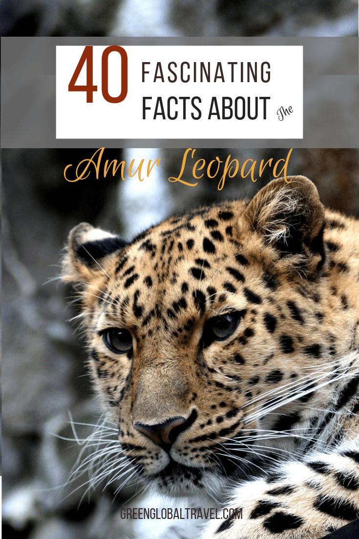 40 Facts About the Amur Leopard Amur leopard, Leopard