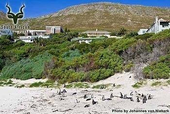 Table Mountain - Boulders - Wildlife - African Penguin
