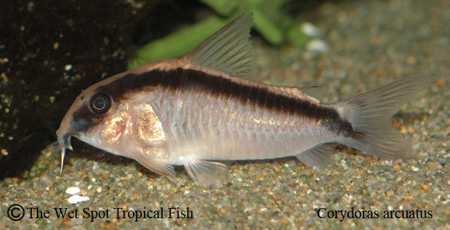 Corydoras Catfish Auctions Thu Dec 17 16 51 27 2015 Archived Auction Cool Fish Beautiful Fish Tropical Aquarium