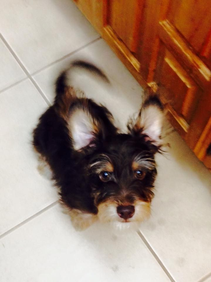Cute Little Oliver Taken By Sitter Ruth Service Animal Pets Love Your Pet