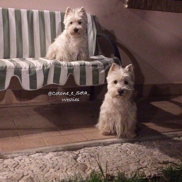 Yawning Westie Westie Puppies Westie Dogs Westie Terrier