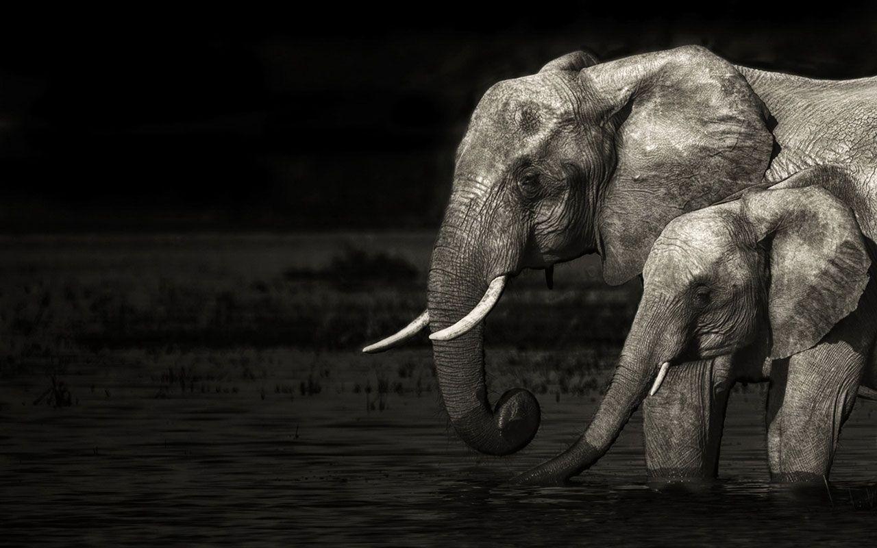 white elephant wallpaper