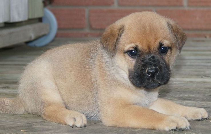Pug And Shar Pei Ori Pei Pug Pug Mixed Breeds Mixed Breed