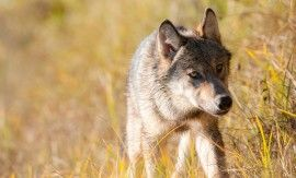 Courts asked to rule on B.C.'s controversial wolf cull