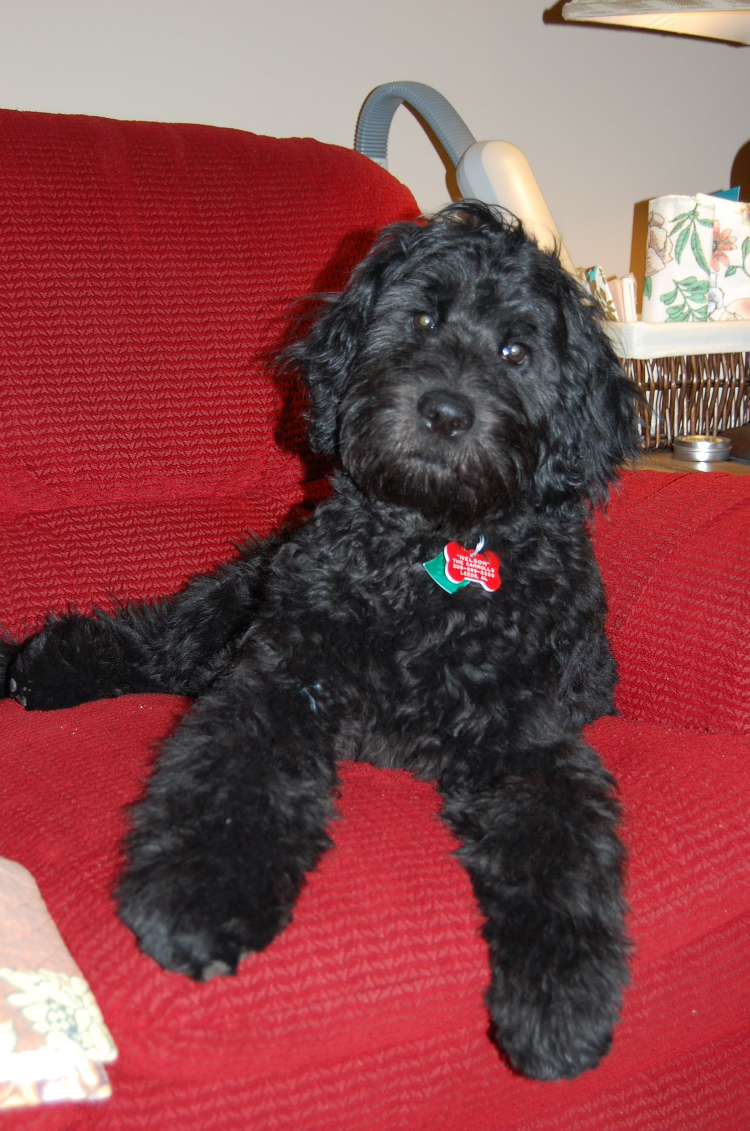 Goldendoodle Nelson Puppies And Kitties Doodle Dog