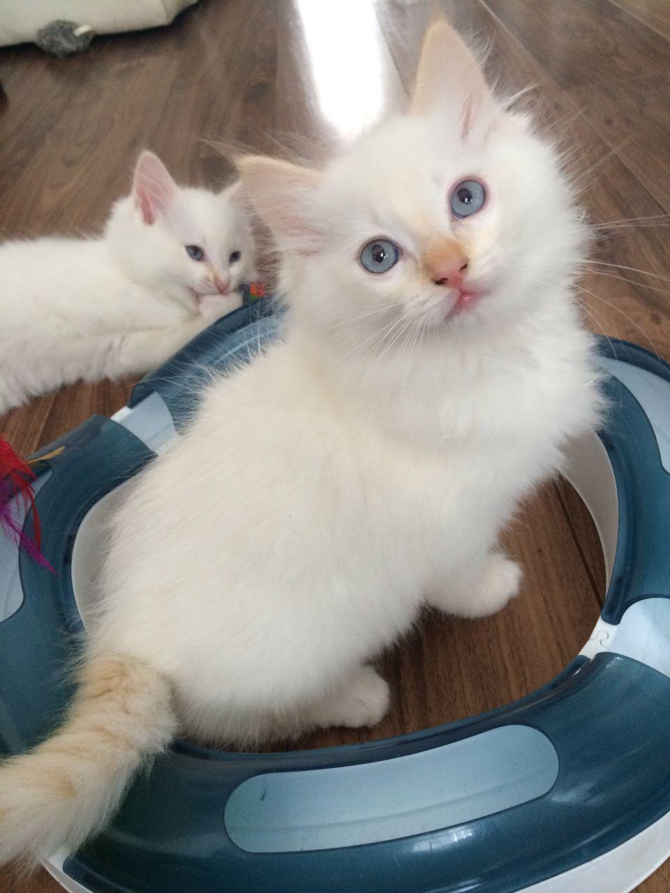 Cream Point Ragdoll Google Zoeken Cats Cute Creatures Kittens