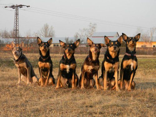 Australian Kelpie Dogs Look At All The Ears The One On The Left Has My Dog S Coloring Australian Kelpie Dog Aussie Dogs Australian Dog Breeds