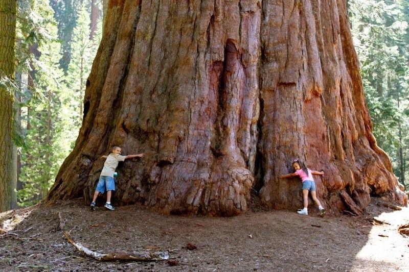 Sequoiadendron giganteum - GIANT TREE   Giant sequoia trees, Redwood tree,  Tree