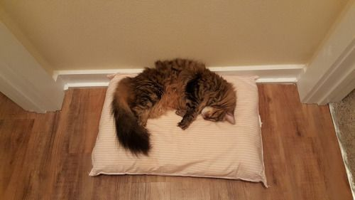 My cat routinely steals the dogs pillow..cat-overload.tumblr.com source: http://i.imgur.com/W1242Gnh.jpg