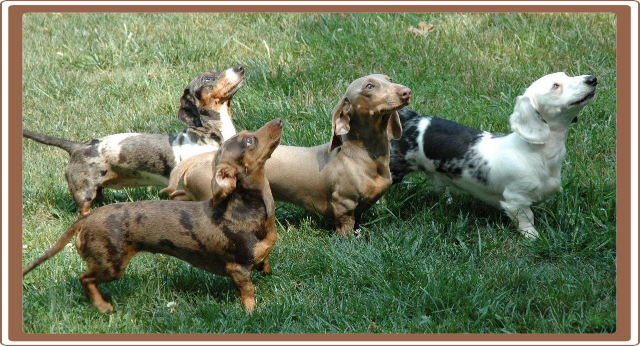 Spots And Dots Miniature Dachshunds Weiner Dog Dachshund Love
