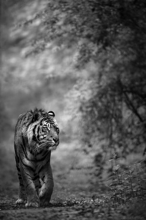 ^Roaming tiger