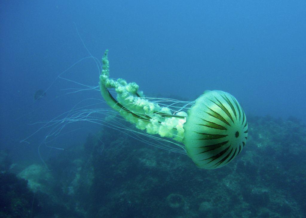 Meduusat - varitaustakuvat: http://wallpapic-fi.com/ocean-ja-meri/meduusat/wallpaper-10034