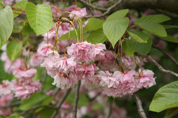 Prunus Fugenzo Japanese Flowering Cherry Syn Prunus Shirofugen Japanese Flowering Cherry Prunus Buy Plants