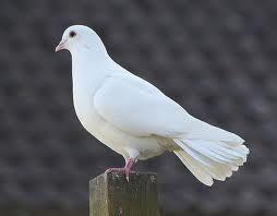 White Dove Google Search Dove Pictures Beautiful Bird Wallpaper White Doves
