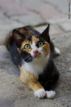 Calico Kitten Cutie Cat With Green Eyes Beautiful Cat Beautiful