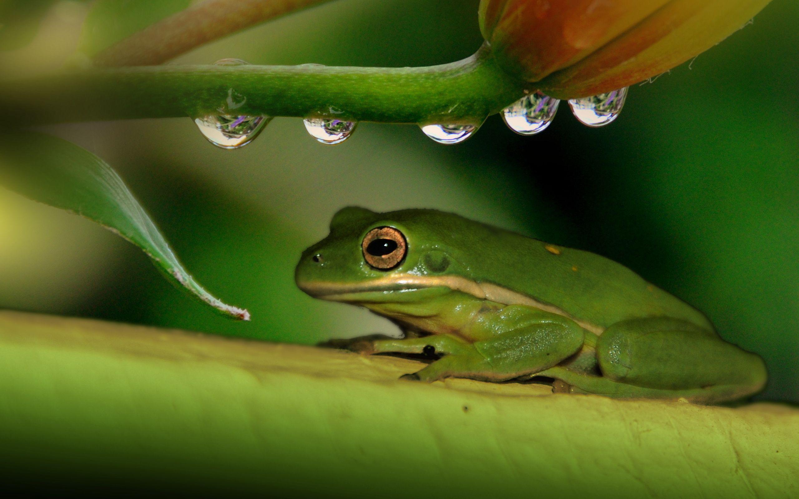 Animal Frog Wallpaper Frog Wallpaper Frog Animals