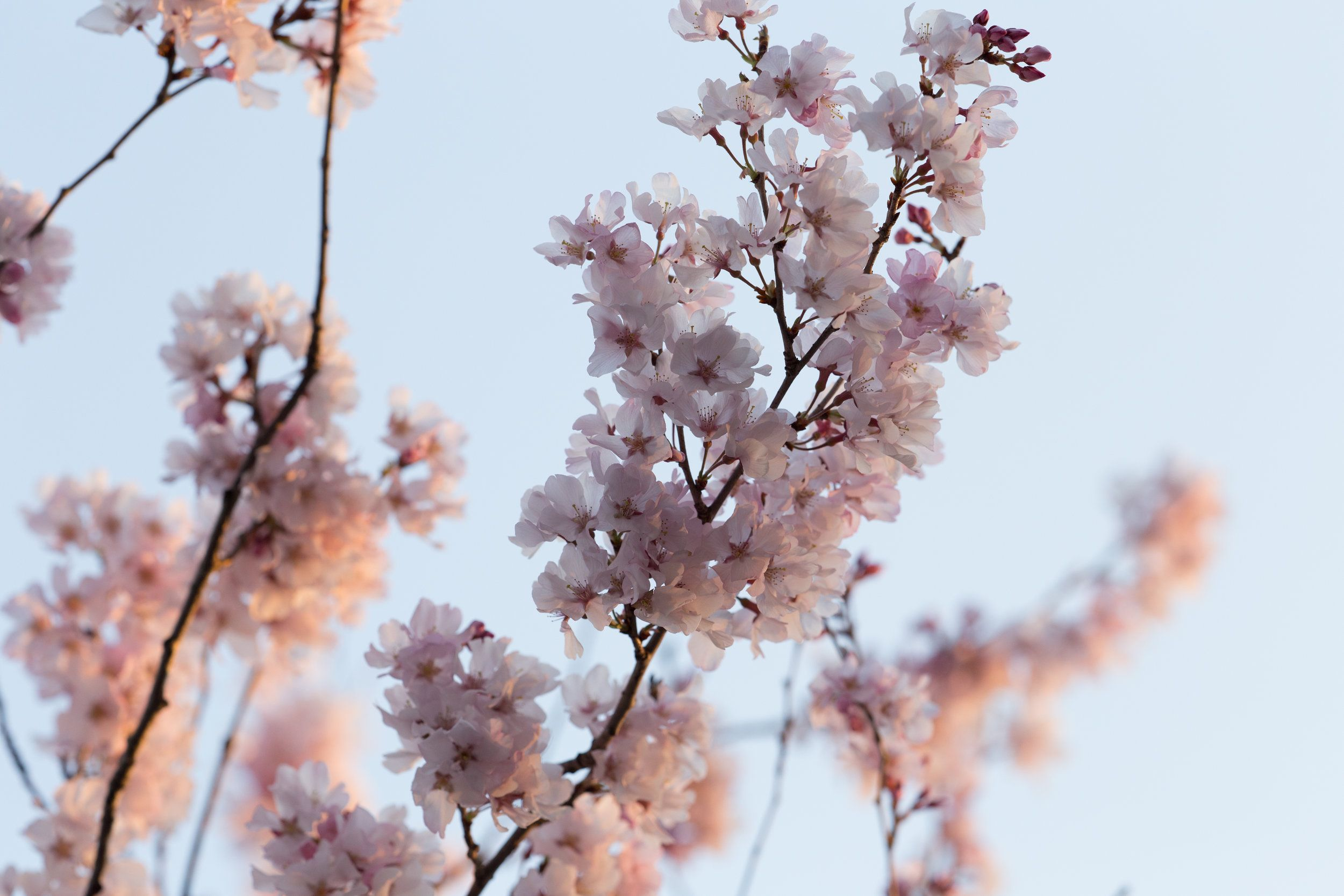 Why Is My Tree Not Blooming Poster Prints Nature Posters Cherry Blossom Branch
