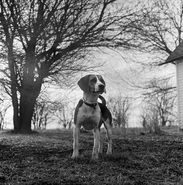 One of Jim Richardson's early photographs, of his dog Dixie, on the family farm near Belleville, Kansas. Ca. 1959 #beagle