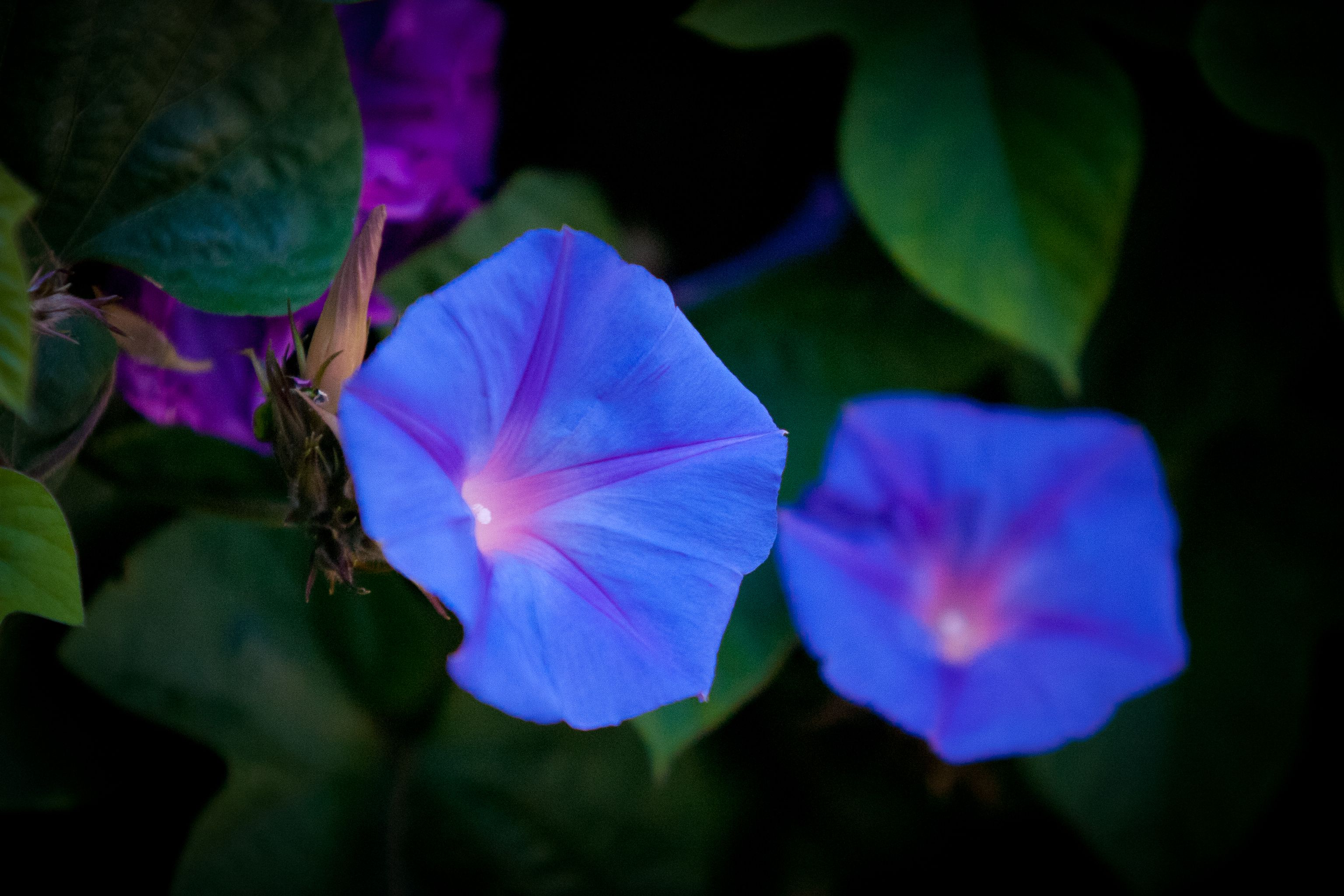 Blue Morning Glory By Kristen Ortwerth Jewell On Flickr Blue Morning Glory Amazing Flowers Morning Glory