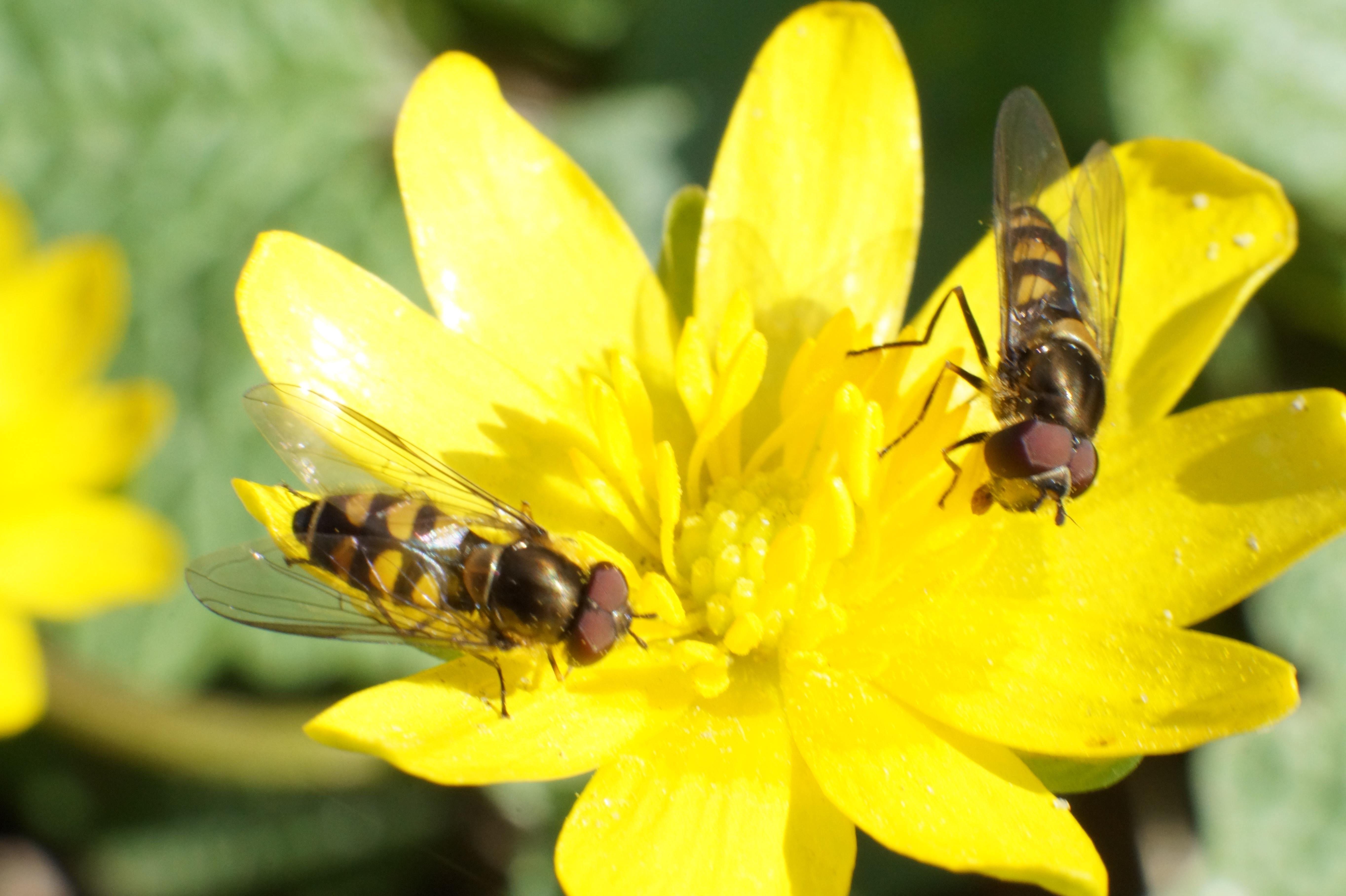 Zweefvliegen smikkelen van het lekkers wat een gele bosanemoon hen aanbiedt