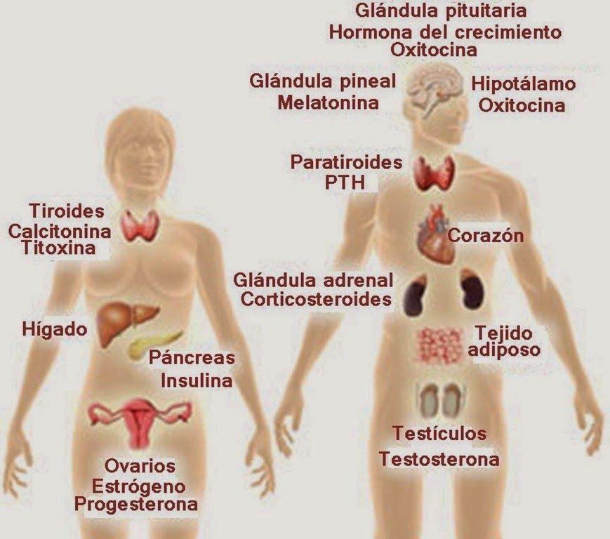 Atractivo Sistema Endocrino Etiqueta Adorno - Anatomía de Las ...