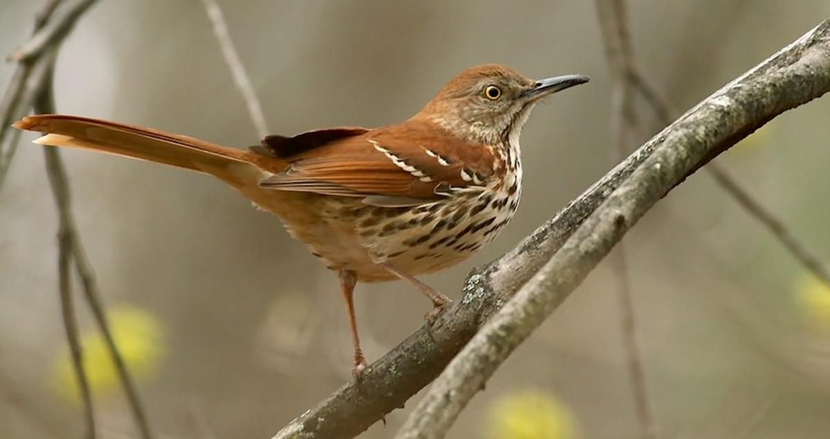 It Can Be Tricky To Glimpse A Brown Thrasher In A Tangled Mass Of