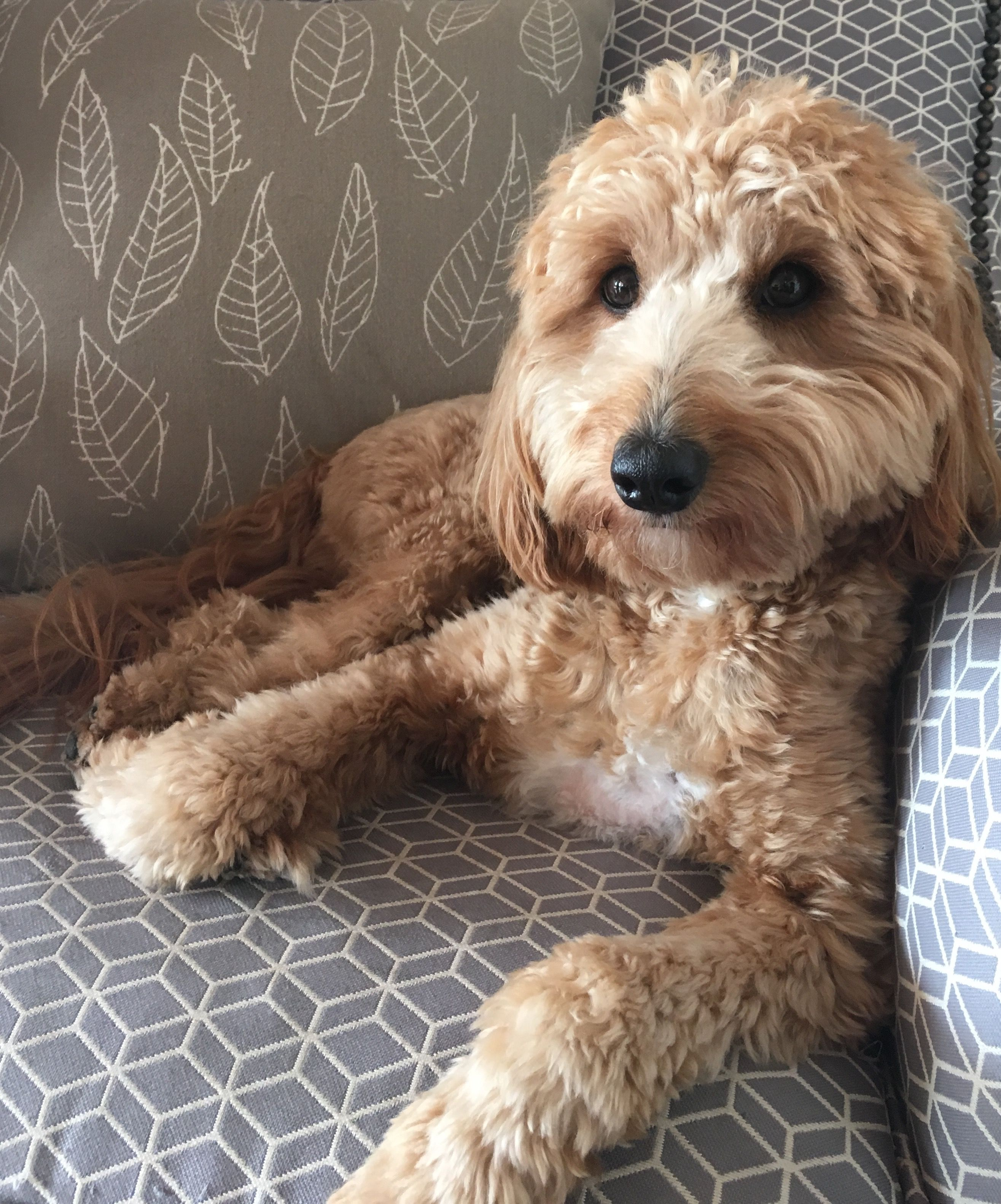 Cavoodle Cavapoo Hairstyles Puppies