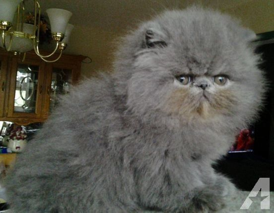 Blue Persian Male Kitten With Images Kitten For Sale Persian