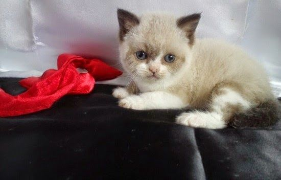 Colourpoint And White British Shorthair Kittens British