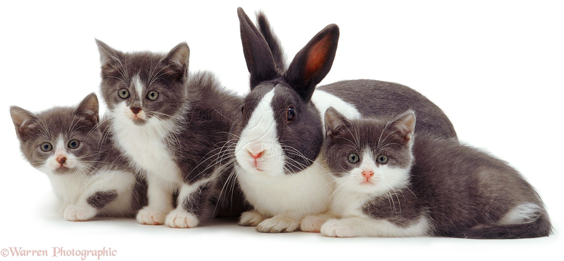 This Is Our Brother Grey And White Kitten White Kittens Rabbit Photos