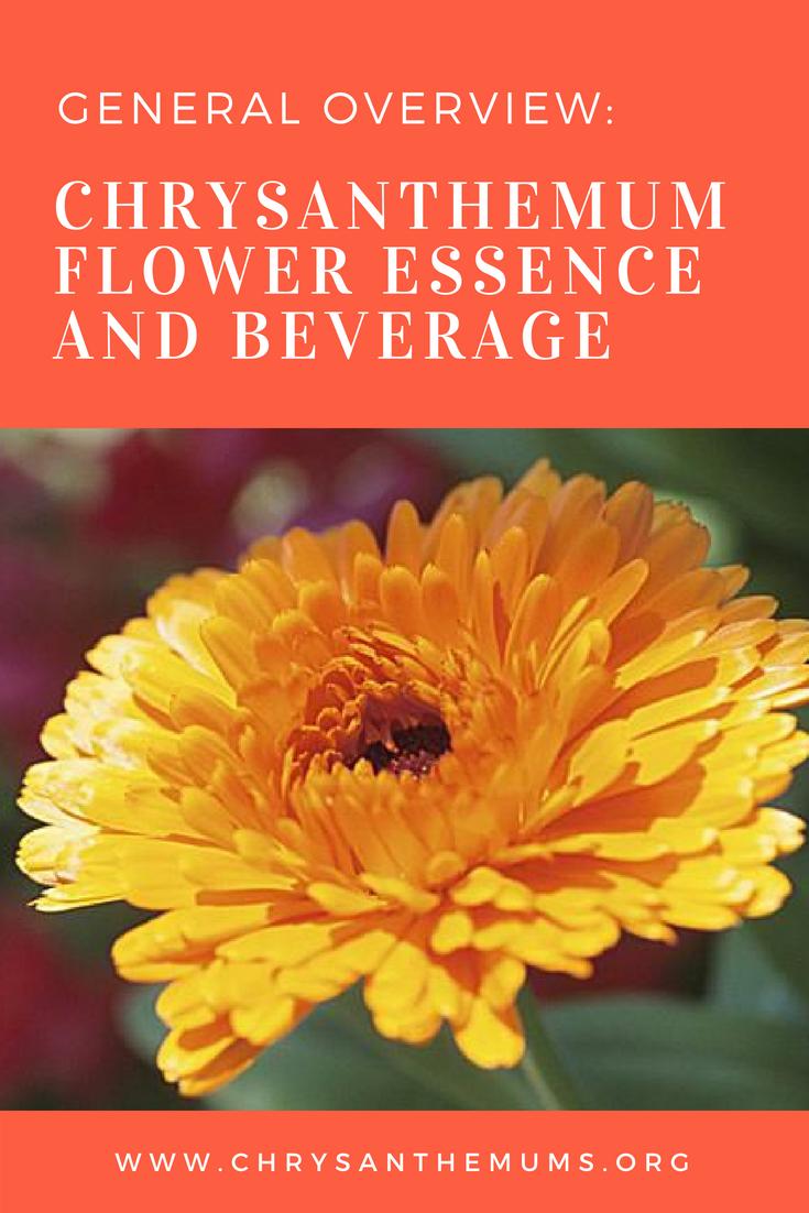 Chrysanthemum Flower Essence And Beverage Flower Essences Chrysanthemum Flower Chrysanthemum