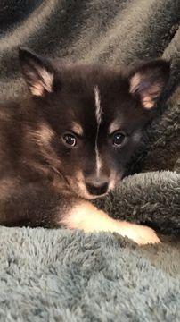 Litter Of 5 Pomsky Puppies For Sale In Madison Wi Adn 61827 On Puppyfinder Com Gender Female