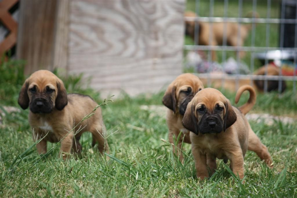 Buy Bloodhound dogs Puppies in California USA