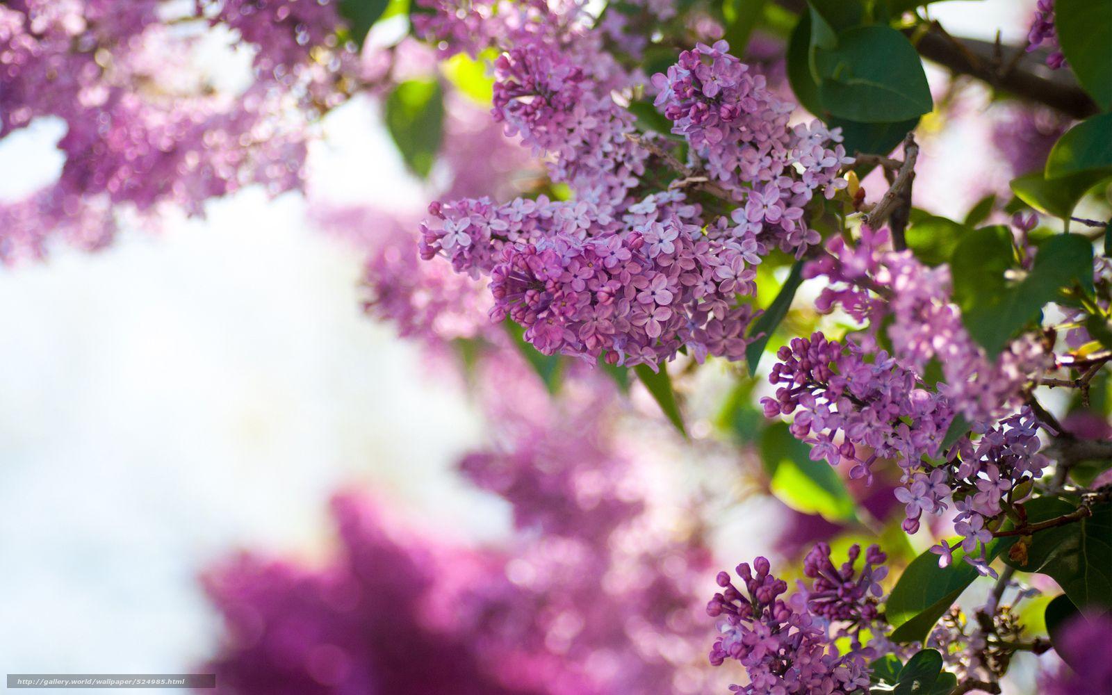 Tlcharger Fond D Ecran Fleurs Printemps Lilas Buisson Fonds D Ecran Gratuits Pour Votre Rsolution Du Bureau 1920x1200 Image Arbre Lilas Lilas Fleur Lilas