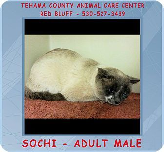 Red Bluff, CA - Siamese. Meet SOCHI a Cat for Adoption.