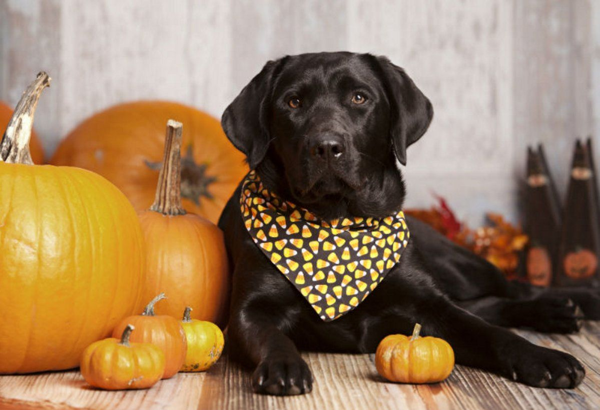 Easytomake pumpkin recipes for dogs. http//bit.ly