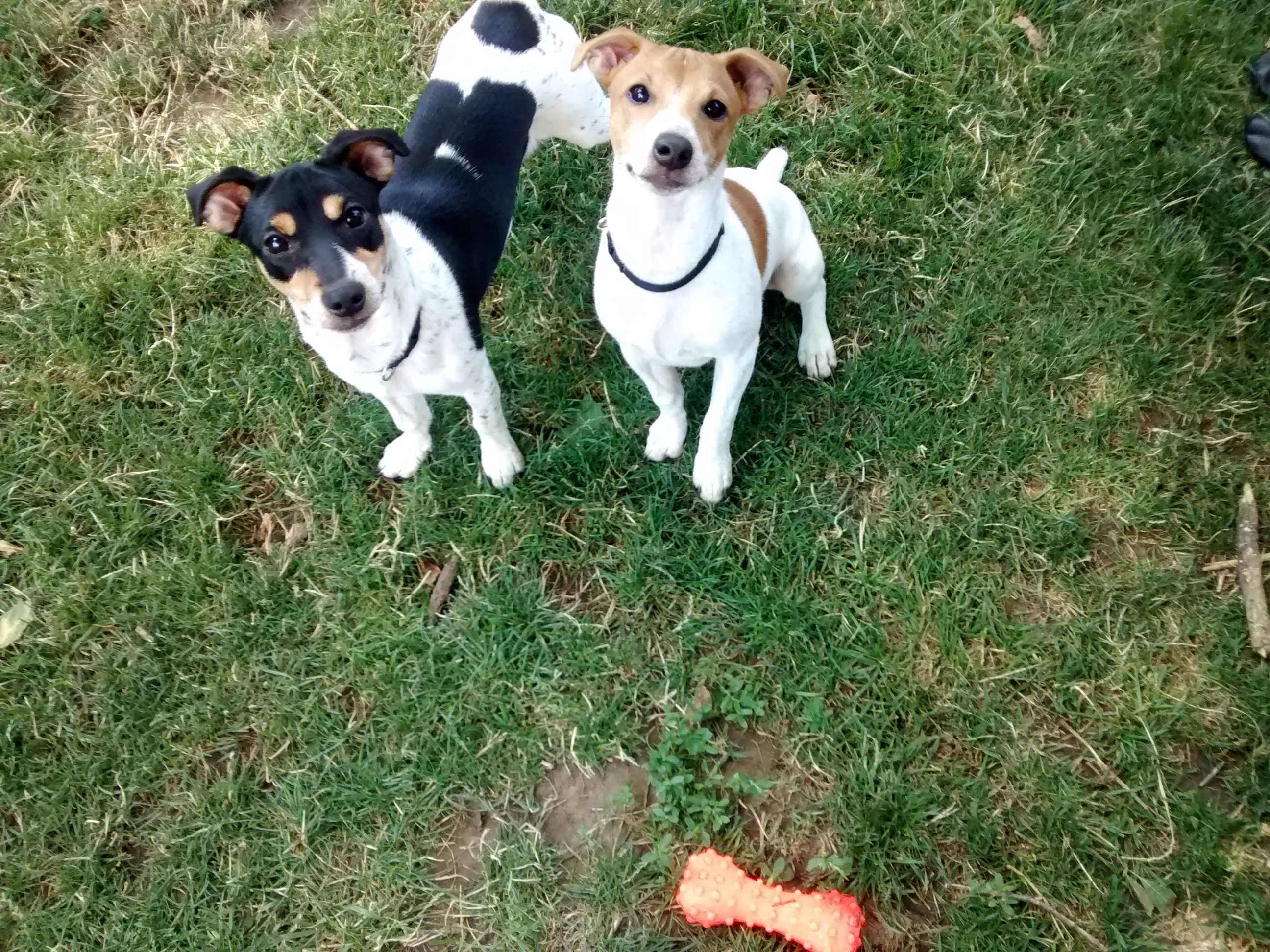 Aren T We Cute Animal Heros Jack Russell Jack Russell Terrier