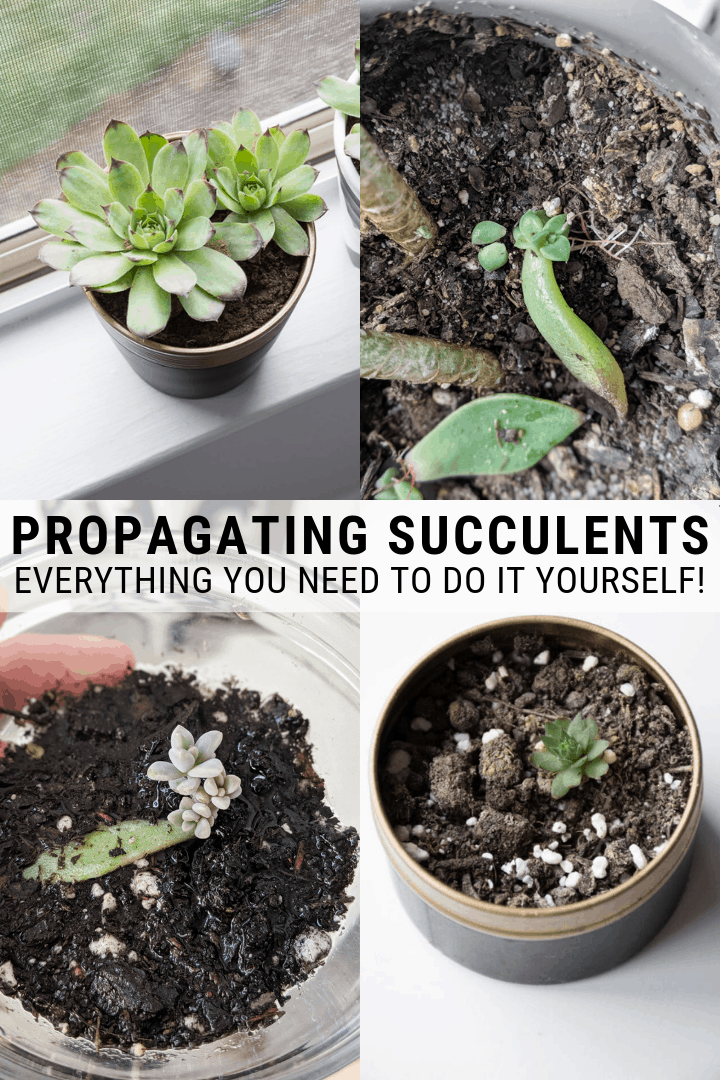 How To Propagate Succulents From Leaves And Cuttings Propagate Succulents From Leaves Succulents Propagating Succulents