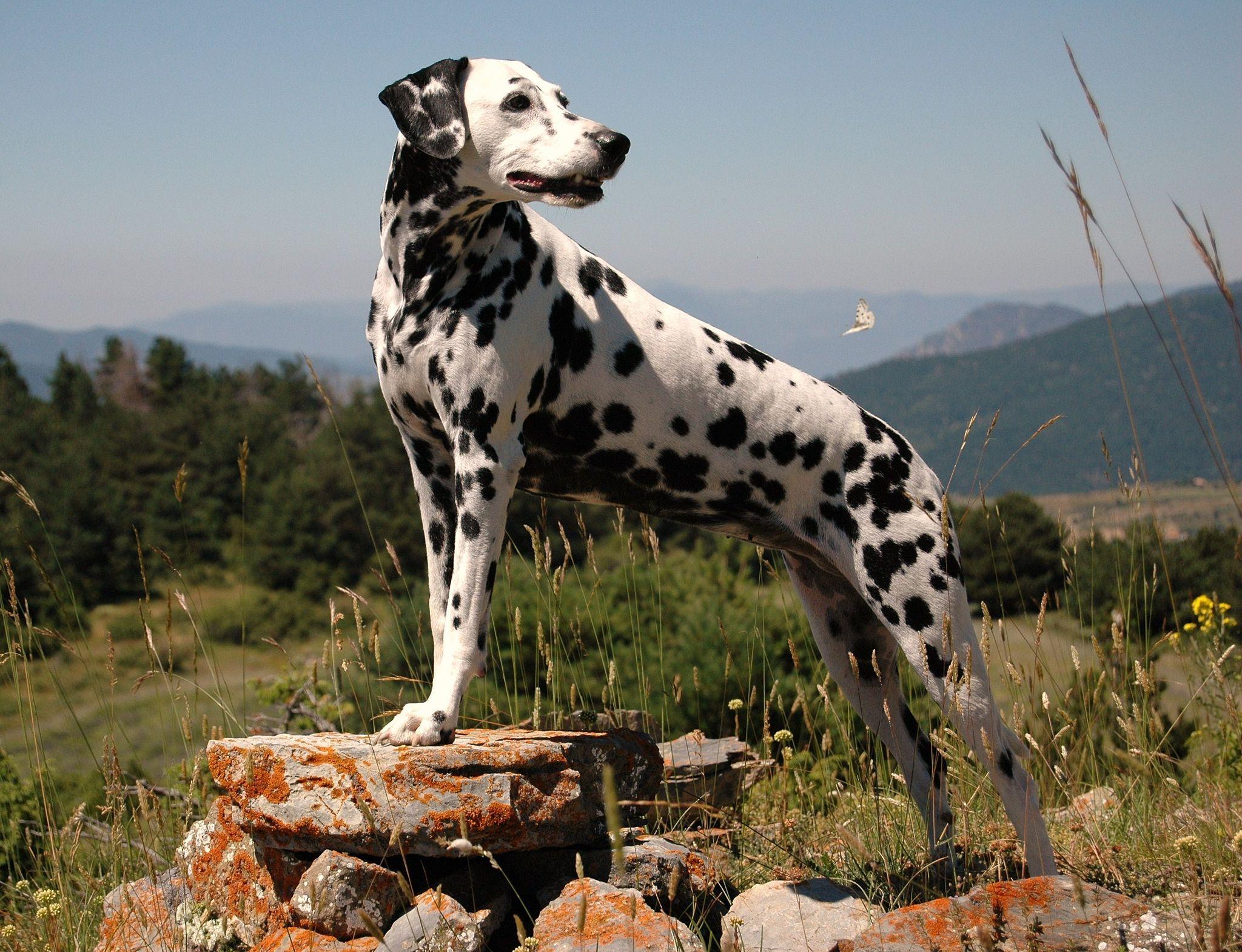 Dalmatiner Dalmatiner Hunderassen Hunde