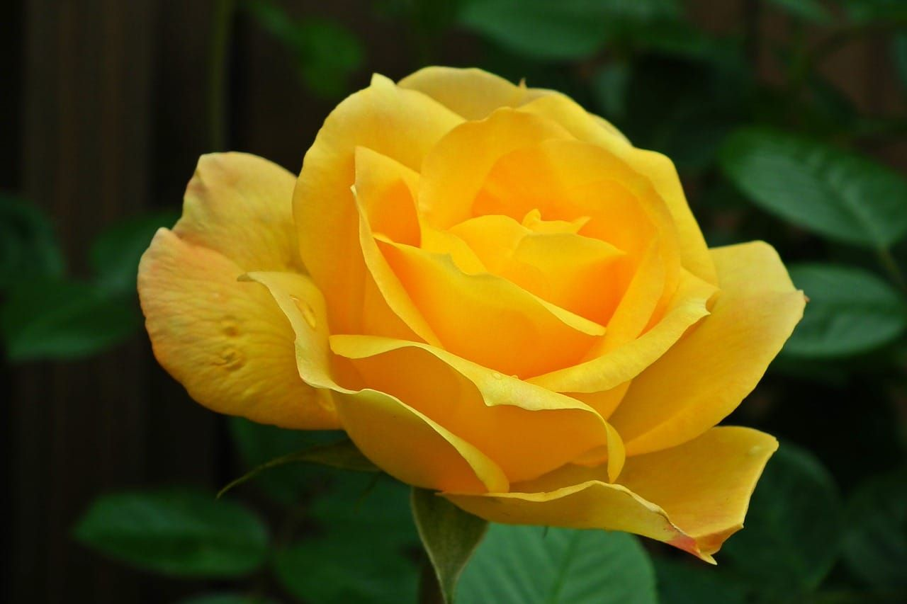 Learn About The History And Meaning Of Yellow Roses Plus Learn About Other Flower Types And See Hu Beautiful Flowers Pictures Yellow Roses Rose Color Meanings
