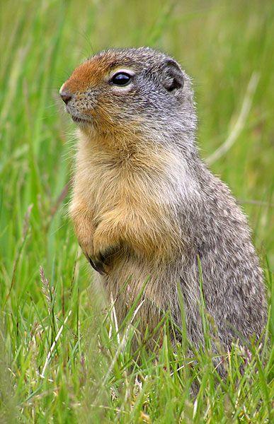 Top 30 Cutest Animals In The World Animals Ground Squirrel Cute Animals
