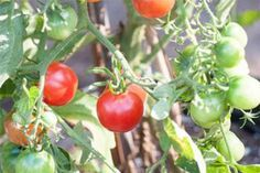 The Best Companion Plants for Tomatoes