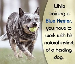 Blue Heeler Training Tips