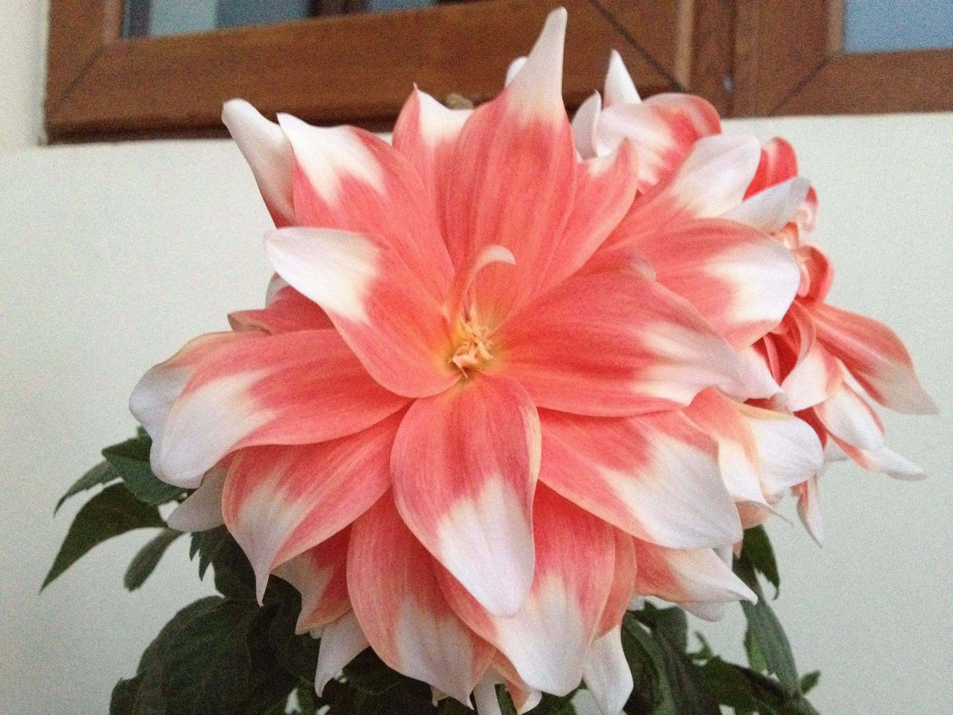 Dahlia from gurgaon flower garden my flower flowers