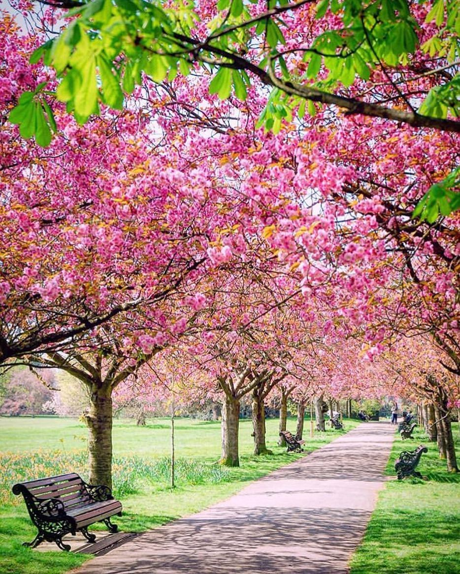 Glorious Britain On Instagram Seeing A Cherry Blossom Tree In Full Bloom Is One Of The Best Things About Spring Would Cherry Blossom Tree Blossom Trees Tree